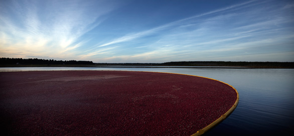 Some cranberry fields